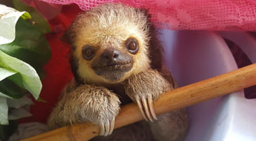 Image of a sloth from South America