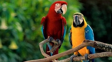 Image of a pair of colorful parrots sitting on a tree branch in Italy.